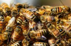 Россельхознадзор назвал причину массовой гибели пчёл в России
