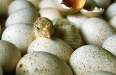 Ученые узнали, что птенцы в яйце «разговаривают» между собой