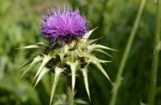Обычное травянистое растение оказалось полезным против гепатита С