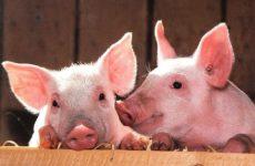 Пациенту с ожогами впервые пересадили кожу ГМО-свиньи