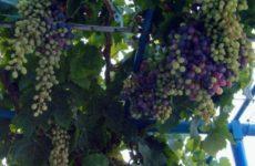 Полезные свойства винограда поведали ученые