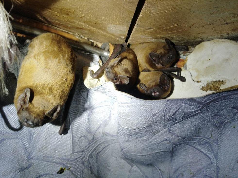 "120 летучих мышей ""захватили"" киевскую квартиру 2"
