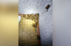 "120 летучих мышей ""захватили"" киевскую квартиру"