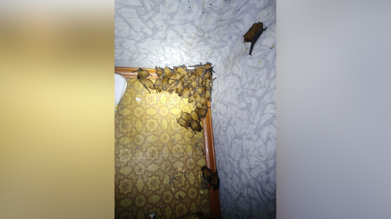 "120 летучих мышей ""захватили"" киевскую квартиру 1"