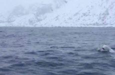 Игравшую с моряками белуху посчитали российским шпионом