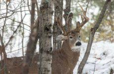 Уникальный олень с тремя рогами попал в объектив фотографа
