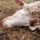 В немецкой деревне неизвестное существо загрызло овцу и растерзало гусей