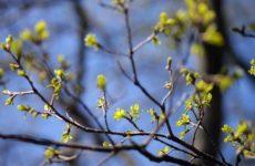На заметку аллергикам: из-за аномально теплой зимы началось раннее цветение