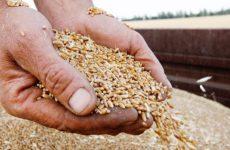 Минсельхоз сообщил о возможном снижении цен на зерно в РФ