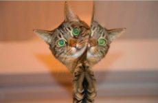 Американские ученые заразили кошек коронавирусом