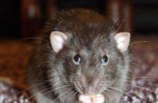 Оголодавшие из-за пандемии крысы атаковали города США