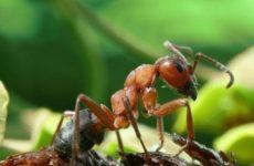 Ученые выяснили, как грибы превращают муравьев в «зомби»