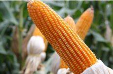 Медики рассказали, кому противопоказана молодая кукуруза