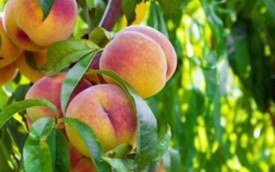 Биолог назвал уникальные свойства персиков