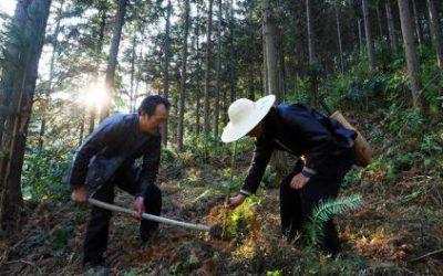Когда в России от леса остаются одни щепки, в Китае его восстанавливают