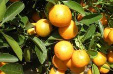 Назван помогающий в борьбе с раком цитрусовый фрукт