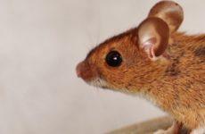 Ученые нашли способ остановить старение с помощью мышей