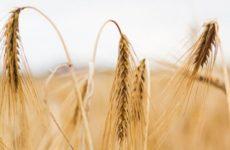 Эксперт из США предсказал длительный период высоких цен на зерно