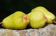 Израильские ученые раскрыли полезные свойства груши